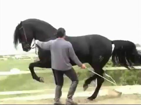 بالصور حصان عربي , اجمل حصان في العالم 2249 2