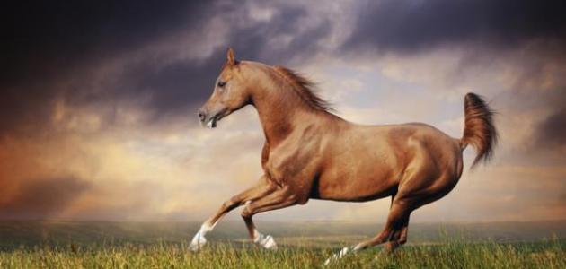 بالصور حصان عربي , اجمل حصان في العالم 2249 3