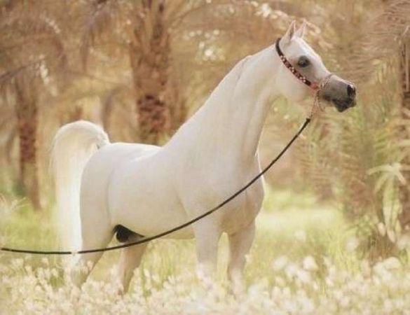بالصور حصان عربي , اجمل حصان في العالم 2249 4