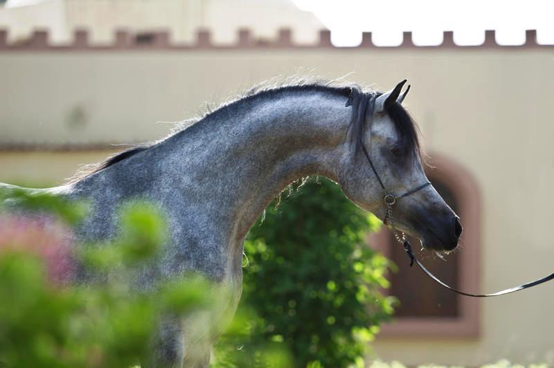 بالصور حصان عربي , اجمل حصان في العالم 2249 5