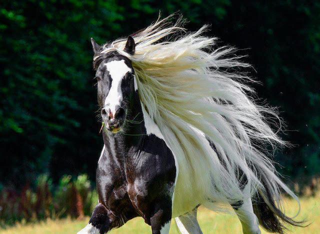 بالصور حصان عربي , اجمل حصان في العالم 2249 6