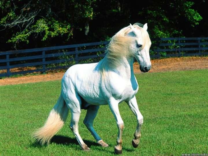 بالصور حصان عربي , اجمل حصان في العالم 2249 8