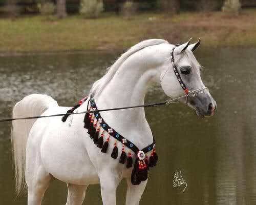 بالصور حصان عربي , اجمل حصان في العالم 2249 9