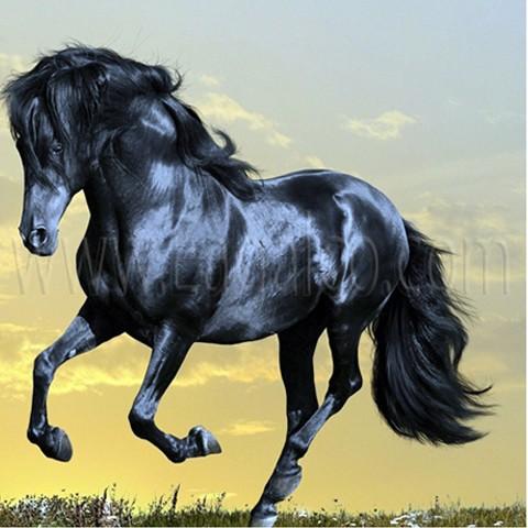 بالصور حصان عربي , اجمل حصان في العالم 2249