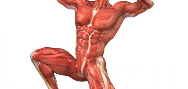 صوره كم عدد عضلات جسم الانسان , اقوى عضلة جسم الانسان