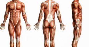صور كم عدد عضلات جسم الانسان , اقوى عضلة جسم الانسان