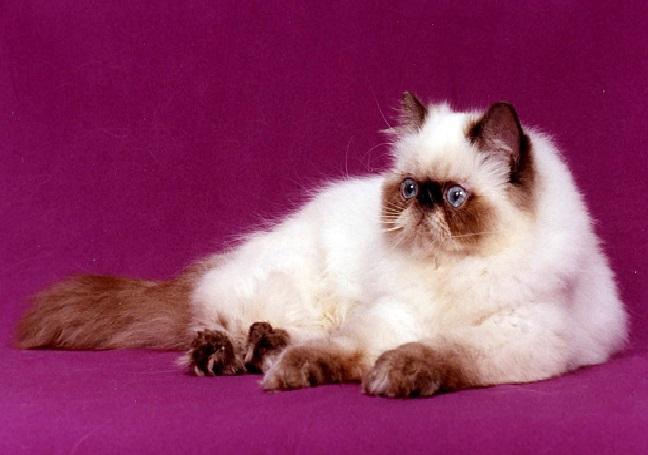 صورة قطط هملايا , احلى صور لقط كيووت جدا