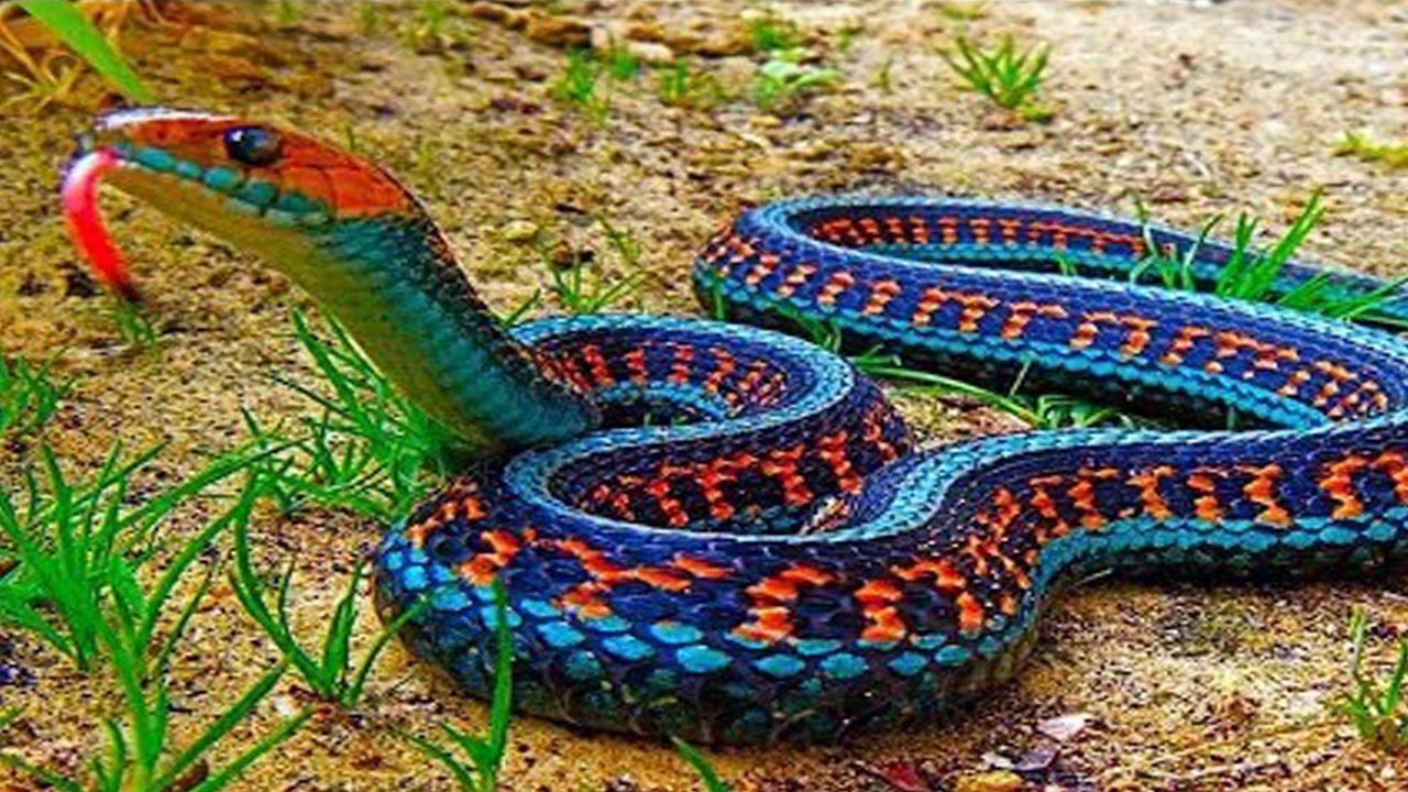 صور انواع الثعابين , اريد معرفة فصائل الافاعى