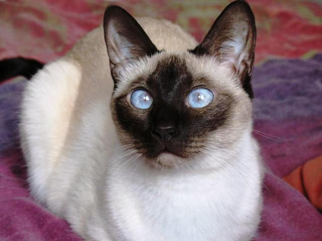 صورة قطط سيامو , صور لمحبي القط السيامى