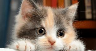 صوره كيفية تربية القطط , ماهى طرق العنايه بالقط فى المنزل