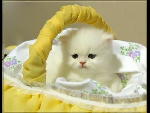 صورة صور قطط متحركة , ارقى كائنات لطيفة واليفة للمنزل