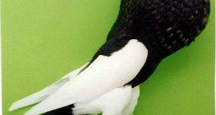 صورة حمام زينه , اجمل طيور العالم
