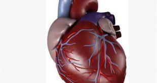 صوره صور قلب الانسان , اكثر الاعضاء حيوية في الجسم