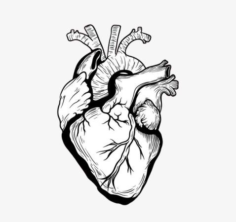 بالصور صور قلب الانسان , اكثر الاعضاء حيوية في الجسم 3893 3