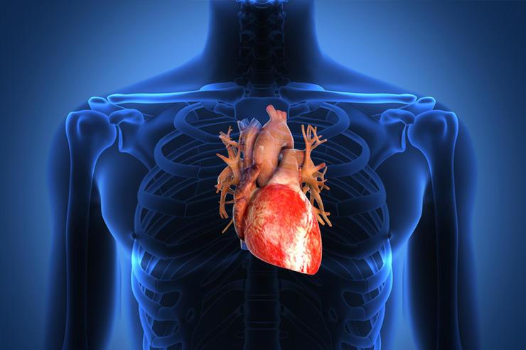 بالصور صور قلب الانسان , اكثر الاعضاء حيوية في الجسم 3893 5