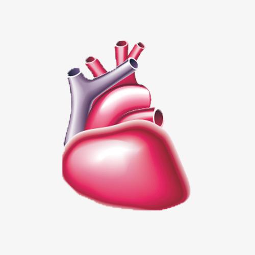 بالصور صور قلب الانسان , اكثر الاعضاء حيوية في الجسم 3893 6