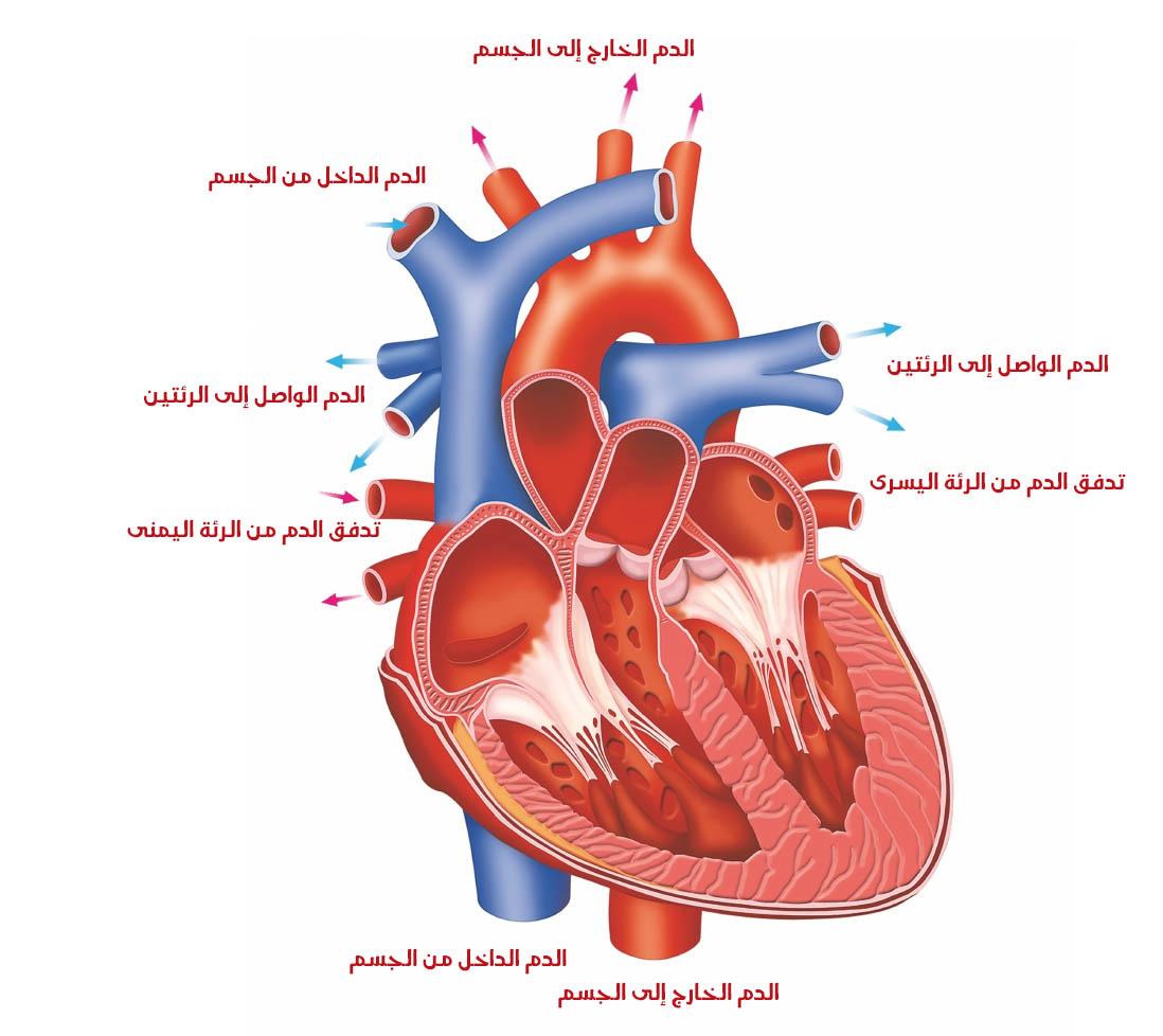 بالصور صور قلب الانسان , اكثر الاعضاء حيوية في الجسم 3893 7