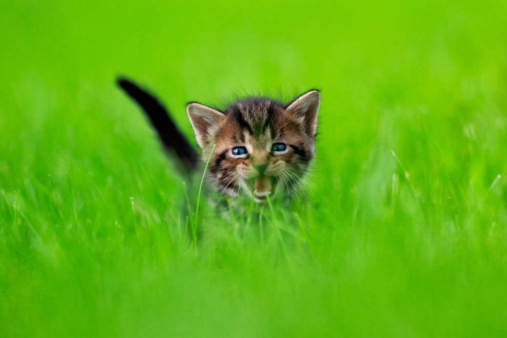 بالصور اجمل الصور للقطط في العالم , صور جميله للقطط حول العالم 4700 8