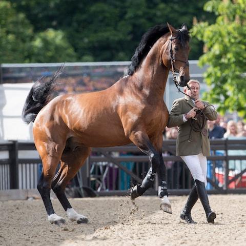 بالصور اجمل خيول في العالم , اروع صور خيل