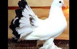 صورة حمام هزاز , طيور اكيد حتعجبك