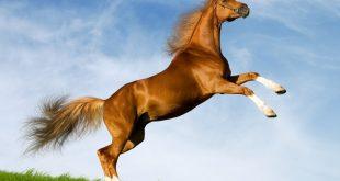 بالصور صور حصان , اجمل الخيول العربية الاصيلة 3970 9 310x165