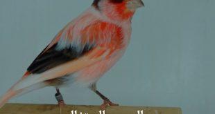 اجمل كناري في العالم , اجمل طيور الكنارى