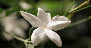 صوره صور ورد الياسمين , زهور