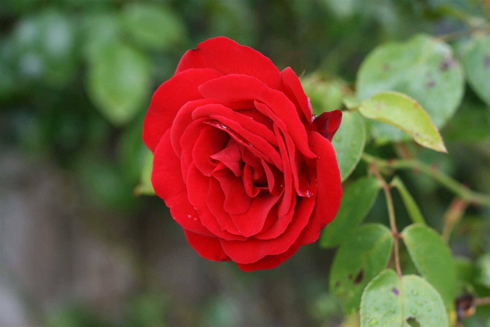 صورة اجمل صور الورد , الجمال يتكلم بحب 5915 4
