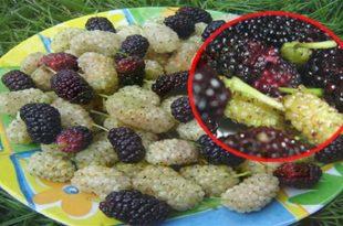 بالصور فوائد التوت , فاكهة التوت اللذيذة 6047 2 310x205