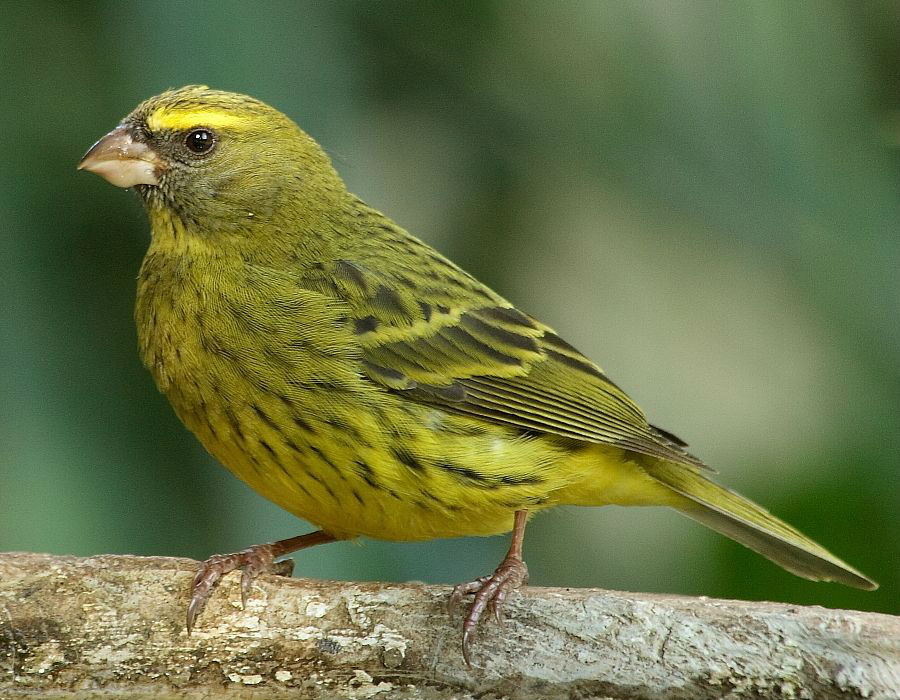 بالصور صور كناري , طائر الكنارى صاحب الصوت الجميل 1739 10