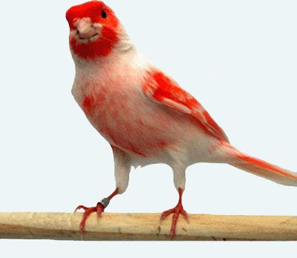 بالصور صور كناري , طائر الكنارى صاحب الصوت الجميل 1739 2