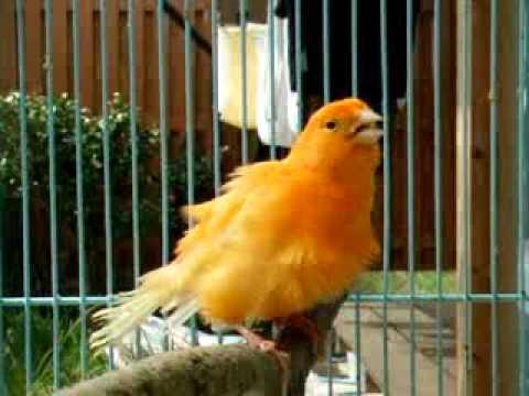 بالصور صور كناري , طائر الكنارى صاحب الصوت الجميل 1739 4