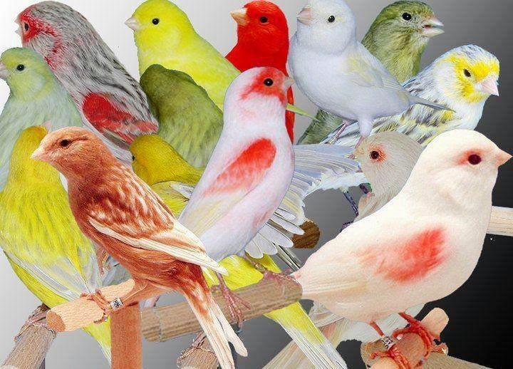 بالصور صور كناري , طائر الكنارى صاحب الصوت الجميل 1739 5