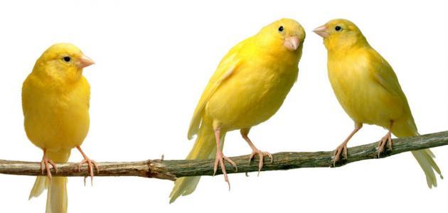 بالصور صور كناري , طائر الكنارى صاحب الصوت الجميل 1739 7