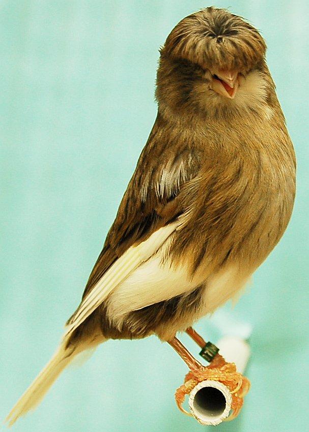 بالصور صور كناري , طائر الكنارى صاحب الصوت الجميل 1739 8