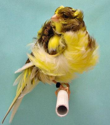 بالصور صور كناري , طائر الكنارى صاحب الصوت الجميل 1739 9