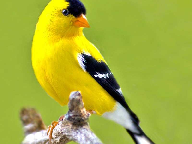 بالصور صور كناري , طائر الكنارى صاحب الصوت الجميل