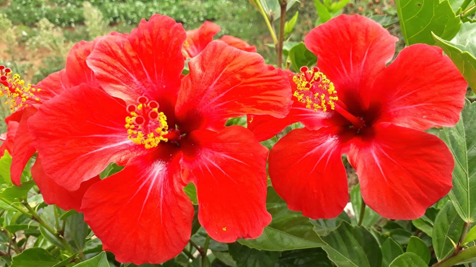 بالصور صور ورد طبيعي , اجمل اشكال الزهور بالصور 4891 10