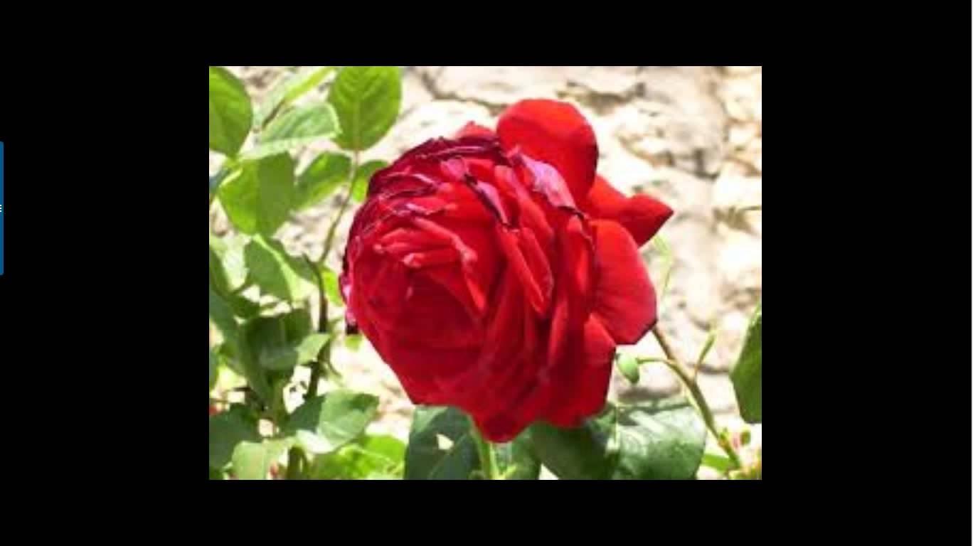 بالصور صور ورد طبيعي , اجمل اشكال الزهور بالصور 4891 2