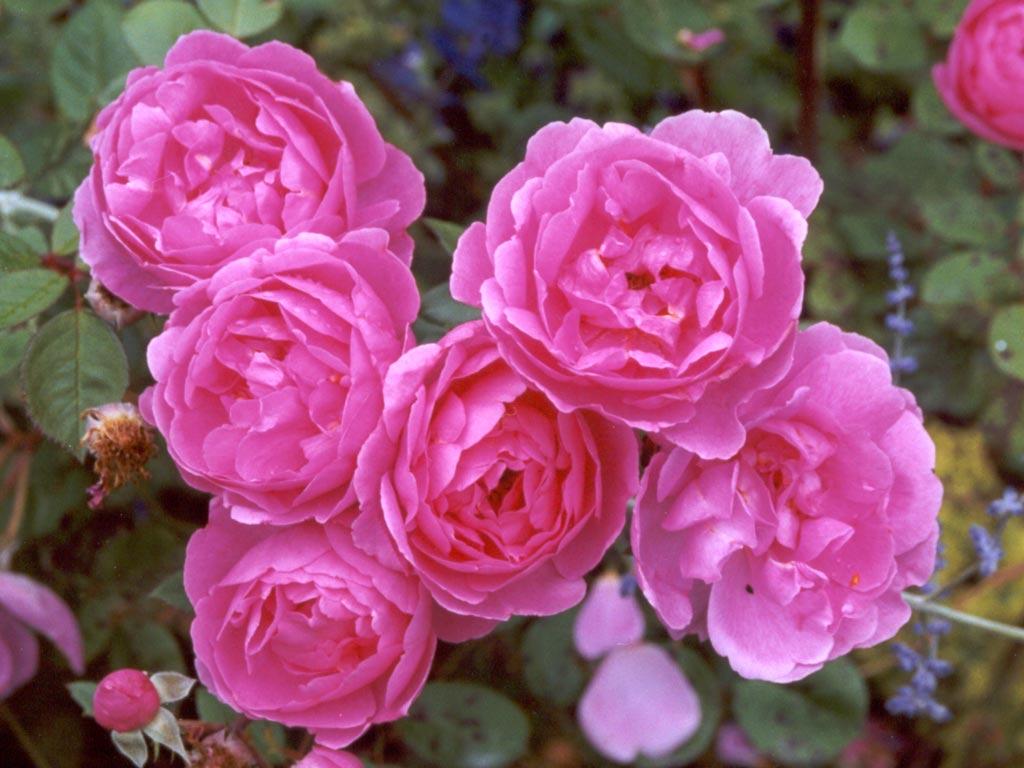 بالصور صور ورد طبيعي , اجمل اشكال الزهور بالصور 4891 5