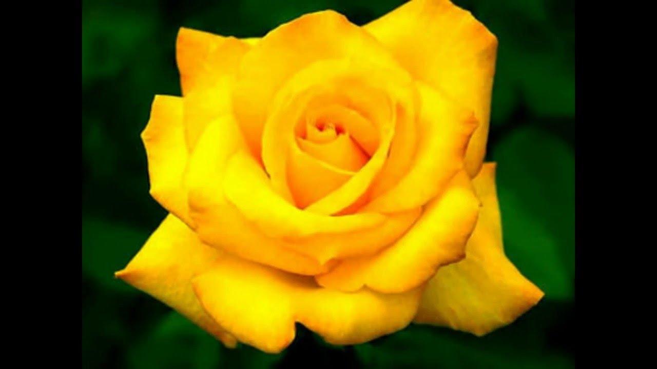 بالصور صور ورد طبيعي , اجمل اشكال الزهور بالصور 4891 8