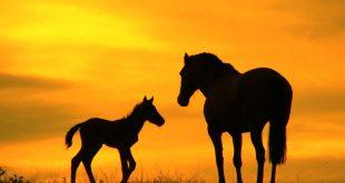 صورة خيول عربية , حصان عربى اصيل بالصور