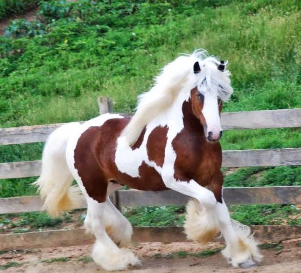 بالصور اجمل حصان في العالم , حصان جميل المنظر 673 10