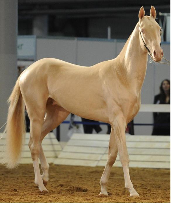 بالصور اجمل حصان في العالم , حصان جميل المنظر 673 2
