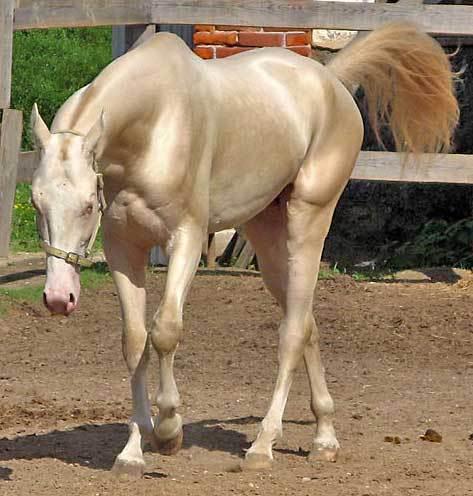 بالصور اجمل حصان في العالم , حصان جميل المنظر 673 7