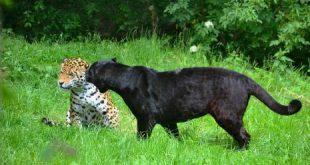 صور تفسير حلم الفهد الاسود , الفهد في المنام