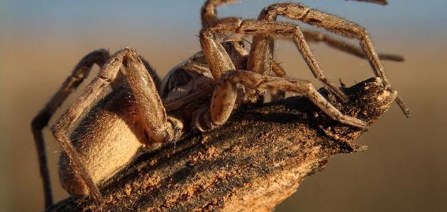 صور كم عدد ارجل العنكبوت , معلومات عن العنكبوت