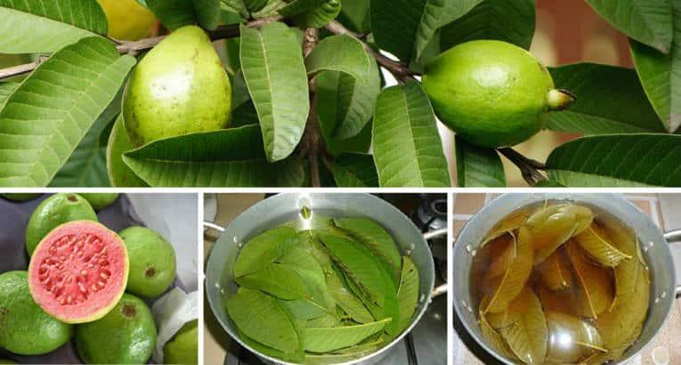 صور اضرار ورق الجوافه , هل ورق الجوافة مضر