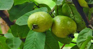 صورة اضرار ورق الجوافه , هل ورق الجوافة مضر