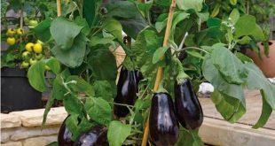بالصور زراعة الباذنجان في المنزل , مشروع اقتصادي من المنزل 11848 2 310x165